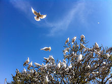 White_Doves_at_the_Blue_Mosque_(5778806606)